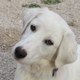 Petra, Chiot golden retriever à adopter