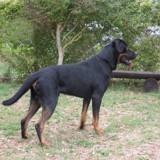 Doudou, Chien rottweiler à adopter