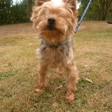 Simba, Chien yorkshire terrier à adopter
