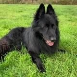 Jackson, Chien chien du groenland à adopter