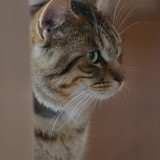 Tigrou/tiger, Chat à adopter