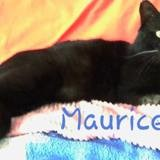 Maurice, Chat à adopter