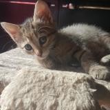 Chaton piplette f, Chaton à adopter