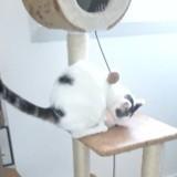Orphée, Chat européen à adopter