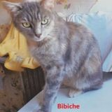 Bibiche, Chat européen à adopter
