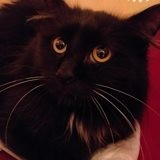 Miou, Chat européen à adopter