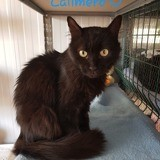 Calimero, Chat à adopter