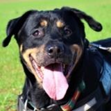 Avalanche, Chien rottweiler à adopter