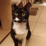 Patchimou, Chat européen à adopter