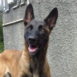 Oxane, Chien berger belge à adopter