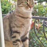Lisie, Chat européen à adopter