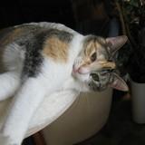 Cayenne, Chat européen à adopter