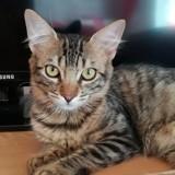 Jude, Chat européen à adopter