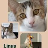 Linus, Chaton européen à adopter