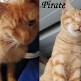 Pirate, Chat européen à adopter