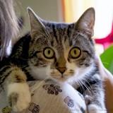 Cassandra femelle tigré/blanc de 1 an 1/2, Chat à adopter