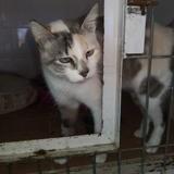 Greta tricolore aux yeux bleus, Chat à adopter