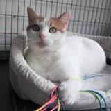 Maya, Chat à adopter