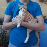 Leo magnifique chaton roux, Chaton à adopter