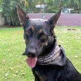 Kapie, jeune chienne croisée créole, Chien à adopter