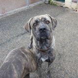 Nitch, Chien cane corso à adopter