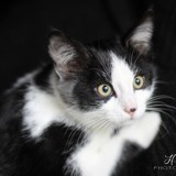 Prunille, Chaton à adopter