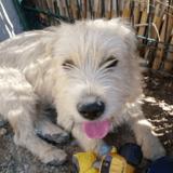 Mila, Chien griffon fauve de bretagne à adopter