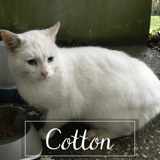 Cotton, Chat à adopter