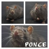Ponce, Animal à adopter