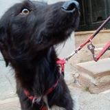 Pan, Chien border collie à adopter