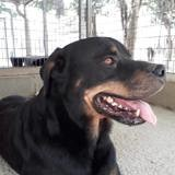 Ipso, Chien rottweiler à adopter