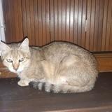 Pastelle, Chat européen à adopter