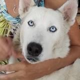 Aiko, Chien husky sibérien à adopter