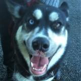 Neige, Chien husky sibérien à adopter