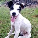 Pongo, jeune mâle croisé créole, Chien à adopter