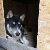 Rocky, Chiot husky sibérien, labrador retriever à adopter