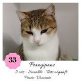 Frangipane, Chat européen à adopter