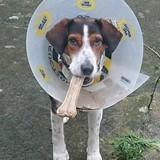 Végas, Chien beagle, fox-terrier à adopter