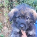 Kiwi, chiot mâle berger créole non lof, Chiot à adopter