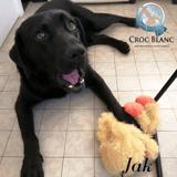 Jak labrador noir de 6 ans, Chien labrador retriever à adopter