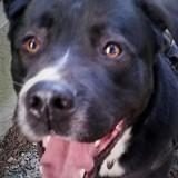 Paco, Chiot cane corso à adopter