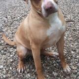 Téquila, Chien american staffordshire terrier, labrador retriever à adopter
