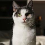 Livie, Chaton européen à adopter