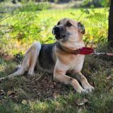 Valeria, Chiot berger allemand à adopter