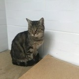 Lisy, Chat européen à adopter