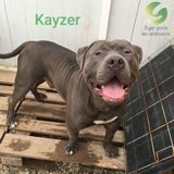 Kayzer, Chien american staffordshire terrier à adopter