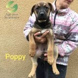 Poppy, Chiot à adopter