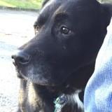 Lychee, Chien labrador retriever à adopter
