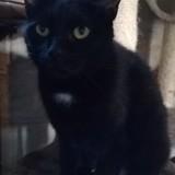 Liyah, Chat à adopter