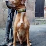 Mouky, Chien braque allemand à poil court, labrador retriever à adopter